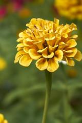 autumn is coming in yellow and orange (van1o) Tags: autumn autumncolors yellow orange sony sonya7 sonyilce7 sonay7 sonaya7 poland nature natureautumnkatowice parkkosczuski