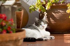 Sunday afternoon (Pedro Nogueira Photography) Tags: pedronogueiraphotography pedronogueira photography animal cat gato doméstico domestic kitty kittens pets pet patuska