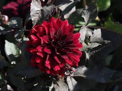 Dahlie (1elf12) Tags: flower blume blossom blüte germany deutschland