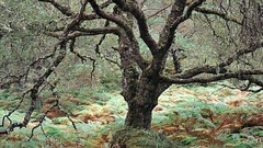 Black Woods of Rannoch: Some Trees 5 (ShinyPhotoScotland) Tags: autumn ferns endure rawtherapee hdr shape character rannoch blackwoodsofrannoch caledonianforestreserve trees nature scotland landscape highlands perthshire