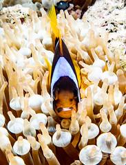 P1020709 (nxdamian) Tags: under water photography uwphotography unterwasserfotografie unterwasser underwater undersea sea life marine nature fish school fischschwarm kleinfische schwertfische lichteinfall travel scuba diving wide angle perspective lumix lx10 lx15 red egypt tauchen duiken hurghada onderwater diveresort buceo 1world1ocean underwaterworld plongee ocean scubadiver fotografia podwodna