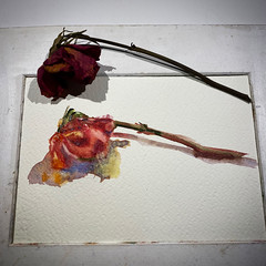 Day 1513. The #rose #painting for today. #watercolour #watercolourakolamble #sketching #stilllife #flower #art #fabrianoartistico #hotpress #paper #dailyproject (akolamble) Tags: rose painting watercolour watercolourakolamble sketching stilllife flower art fabrianoartistico hotpress paper dailyproject