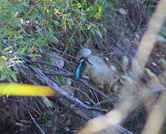 kingfisher / martin-pêcheur (Chapkaaaa) Tags: kingfisher martinpêcheur deurope