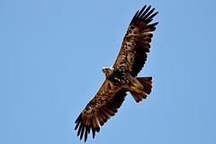 Aquila heliaca (chavko) Tags: flickr kráľovský orol wildlife photo animal slovakia hawk bird tree forest wood birds prey predators imperial eagle aquila heliaca parlagi sas jozefchavko