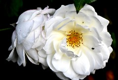White rose (thomasgorman1) Tags: flower rose flowers landscaping white nikon garden prague insect bug bugs insects nature