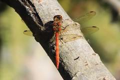 zzzzzz_Dragonfly ~ 2019-09-21 @ FAB (28) (www.EGBE.info) Tags: dragonfly farnboroughairport eglf fab cvtwings davelenton wwwegbeinfo canoneos800d eelmoorbridge 21092019 wildlifestudies