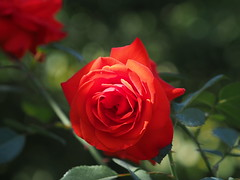 rote Rose (1elf12) Tags: rose buga bundesgartenschau 2019 heilbronn germany deutschland flower blossom blüte blume