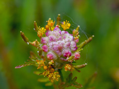 45mm (Garsia2) Tags: russia leicadgmacroelmarit2845mm gx7 spring macro flower outdoor