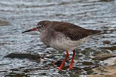 redshank (DODO 1959) Tags: redshank wildlife animal wader water birds fauna avian outdoor canon 100400mmmk2 7dmk2 carmarthenshire wales llanelli wwt observatory hide