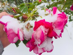 Red Roses Snow Day HSS (Mr. Happy Face - Peace :)) Tags: rose red garden snow art2019 macromondays theme floral flower canada cans2s autumn fall weather early winter september surprise deepfreeze cold season