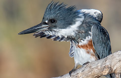 Belted Kingfisher (Thy Photography) Tags: wildlife animal nature outdoor backyard california bird sunrise sunset dawn dusk sunshine thyphotography sanfranciscobayarea sonya7rm4 stackingtcs stackingtc stacking22xtc fe600mmf4gmoss avian beltedkingfisher
