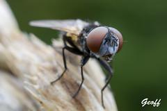 In my backyard (gwhiteway) Tags: insect macro backyard nature fly water bubble olympus m10 mark iii