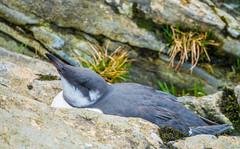 Photo of Juvenile Guillemot on banks of River Tay