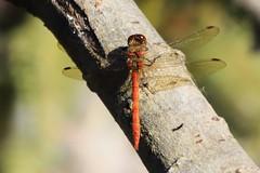 zzzzzz_Dragonfly ~ 2019-09-21 @ FAB (29) (www.EGBE.info) Tags: dragonfly farnboroughairport eglf fab cvtwings davelenton wwwegbeinfo canoneos800d eelmoorbridge 21092019 wildlifestudies