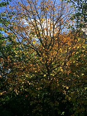 Autumn trees (BrooksieC) Tags: trees autumn gold fall sky nature