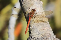 zzzzzz_Dragonfly ~ 2019-09-21 @ FAB (20) (www.EGBE.info) Tags: dragonfly farnboroughairport eglf fab cvtwings davelenton wwwegbeinfo canoneos800d eelmoorbridge 21092019 wildlifestudies