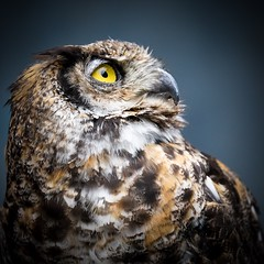 OWL (Channz) Tags: birds square wildlife sony owl yelloweyes bealpha ilce7rm3 sel200600g nature