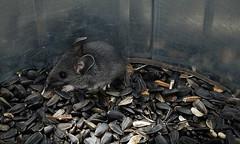 IMG_6222 Souris, Roberval (joro5072) Tags: animal nature souris mouse mammifère