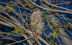 Coopers Hawk From Earlier This Year Who Was Sitting In My Backyard (RS2Photography) Tags: hawk bird feathers canon 80d animal wild wildlife tree flash new outside animalplanet canon80d rs2photography photography california flickr smugmug life eos natur nature naturephotography naturaleza bigpine coopershawk