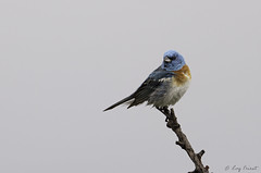 Lazuli Bunting, Male (Buff Spectacular) Tags: kelowna lazulibunting male perched