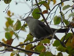 Gray catbird (Quevillon) Tags: estrie easterntownships cantonsdelest canada québec sherbrooke maraisréaldcarbonneau fleurimont park bird graycatbird