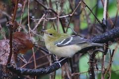 Bay-breasted Warbler (astro/nature guy) Tags: illinoisbird bird urbanabird crystallakeparkbird crystallakepark warbler baybreastedwarbler