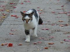 I'm coming! (Quevillon) Tags: estrie easterntownships cantonsdelest canada québec sherbrooke cat mammal jacquescartier