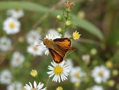 Fiery Skipper (jdf_92) Tags: indiana indianapolis eaglecreekpark fieryskipper hylephilaphyleus skipper butterfly