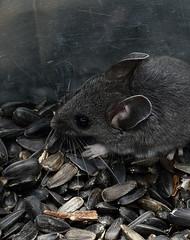 IMG_6221 Souris, Roberval (joro5072) Tags: animal nature souris mouse mammifère