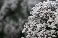 assa-peixe (Vernonia polysphaera) (8613) (Jorge Belim) Tags: flor flora pb canoneos7d 70200