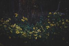(cara zimmerman) Tags: flowers wildflowers indiana indianapolis 100acres 100acrewoods ima helios