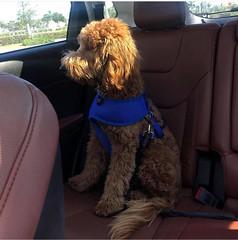 Ginger's Parker loves car ride!