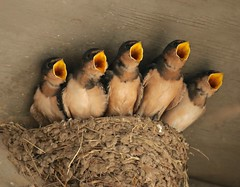 You Can't Miss (Slow Turning) Tags: hirundorustica barnswallows birds nestlings chicks babies young five begging nest summer southernontario canada