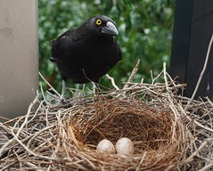 Charlotte Currawong in her nest (interestedbystandr) Tags: currawong piedcurrawong nesting nest egg eggs uq imb