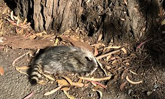#LakeMerced #Walk on a #beautiful #windy day #Saturday #September 28, 2019 in #SanFrancisco (Σταύρος) Tags: sanfrancisco beautiful walk saturday windy september lakemerced raccoon deadraccoon foundonroaddead park lakeshore laguna lm rowingclub hardingpark 1963 tpc freshwaterlake parkmerced westlakevillage pacificrowingclub lagunadenuestraseñoradelamerced tpchardingpark sf city thecity norcal sfist サンフランシスコ sãofrancisco saofrancisco 샌프란시스코 санфранциско سانفرانسيسكو 聖弗朗西斯科 trees cold leaves fauna flora bushes sunnyday shurbs lake see meer lac innsjø sjö llyn 湖 호수 echi озеро λίμνη cali