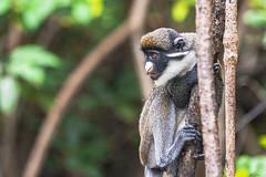 CERCOPITECO NASOBIANCO    ----    GREATER SPOT-NOSED MONKE (Ezio Donati is ) Tags: animali animals natura nature foresta forest acqua water alberi trees westafrica costadavorio areadisanpedro fiumelanero