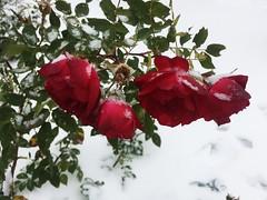 September Rose Gardening Explored 2019-09-30 (Mr. Happy Face - Peace :)) Tags: macromondays theme macro september autumn fall rose pink red closeup art2019 explore