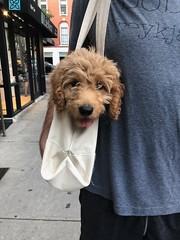 Sabrina's Murphy exploring his new city!