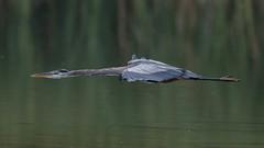 Blue Heron  0390 (Paul McGoveran) Tags: bif bird birdinflight blueheron hendrievalley nature nikon500mmf4 nikond500 nikond850 wings coth5
