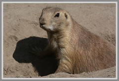 ((( Me..And My Shadow ))) (Wolverine09J ~ 1.8 Million Views) Tags: prairiedog smallmammal captivewildlife park closeup sunnyday shadow minnesota alert nature concentrated nativespecies northamerican level1thewondersofnature livingjewelsofnature thelooklevel1red animalsworldlevel1