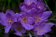 autumn crocuses (Slávka K) Tags: flowers purple drops after rain nikon d5200 darkbokeh mygarden colors natur nopeople macro closeup