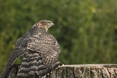 Juvenile Goshawk (robin elliott photography) Tags: goshawk juvenilegoshawk malegoshawk bird birds birdwatch feathers wings outside outdoors
