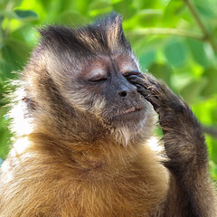Is It Really Already Monday Again? (AnyMotion) Tags: mondayface robusttuftedcapuchin gehaubtekapuziner sapajusapella monkey affe tree baum portrait porträt portraitaufnahmen 2019 anymotion pousadarioclaro pantanal matogrosso brazil brasilien southamerica südamerika travel reisen animal animals tiere nature natur wildlife 7d2 canoneos7dmarkii américadosul ngc npc