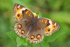 Blue Pansey - Junonia orithya - Yakushima Japan -180619(6f) (Ann Collier Wildlife & General Photographer) Tags: japan naturalhistory insects insect closeup butterflies butterfly butterfliesmothsandcaterpillars lepidoptera bluepansey junoniaorithya yakushima