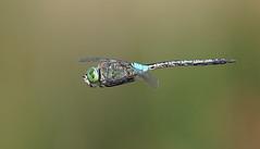 Lesser Emperor (Anax parthenope) (festoon1) Tags: dragonfly odonata lesseremperor anaxparthenope portugal olympus