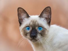 LINDO GATITO (BLAMANTI) Tags: gatos gato felinos domestico hermoso hermosa canon canonpowershotsx60 blamanti ojosazules ojos