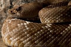 Red diamond rattlesnake (Crotalus ruber) (Spencer Dybdahl Riffle) Tags: snake reptile rattlesnake red diamond riverside county california crotalus ruber herp herping herpetology canon macro californiaherpscom californiaherps viper viperidae