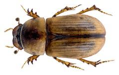 Labarrus splendidus (Petrovitz, 1955) (urjsa) Tags: coleoptera kaefer beetle insect aphodiidae scarabaeidae labarrus splendidus labarrussplendidus dubai taxonomy:binomial=labarrussplendidus taxonomy:order=coleoptera taxonomy:family=scarabaeidae taxonomy:genus=labarrus taxonomy:species=splendidus geo:country=dubai coleopteraus käfer insekt taxonomy:family=aphodiidae