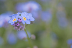 Forget-Me-Not (glendamaree) Tags: forgetmenot flower nature macro spring