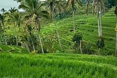 Jatiluwih Rice Terraces. Bali Indonesia (JJ Doro - Bangkok) Tags: terraces asian ubud asia bali steppes riceplanting indonesia agriculture plant rice irrigation farm sunsunny planting green riceterraces palmtrees terrace jatiluwih penebel tabananregency